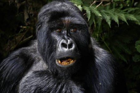Primaten Reisen nach Uganda, Berggorillas, Schimpansen und andere Affenarten.