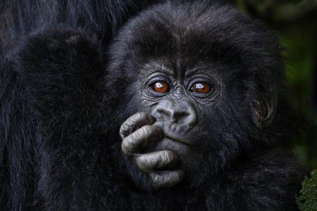 Junger Berggorilla klammert sich an seine Mutter, Bwindi - Uganda.