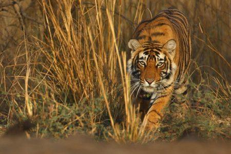 Tiger Reisen nach Indien, Ranthambhore und Bandhavgarh.