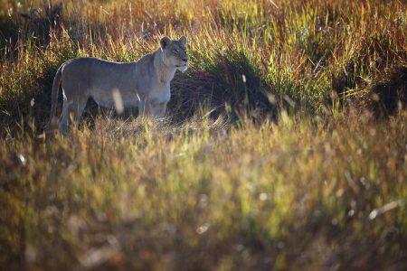 Die Kwara Konzession inmitten des Deltas bietet auch immer eine Vielzahl an Löwensichtungen.