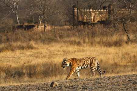 Indien Reisen - zu den letzten wildlebenden Tigern