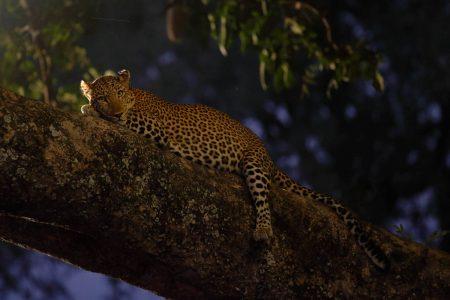 Leopard in der Nacht - völlig entspannt mit unserem Safari Fahrzeug. Und es bleibt ausreichend Zeit diesen zu fotografieren.