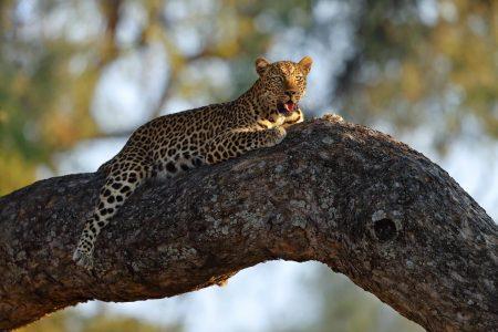 Die Leopardendichte im sambischen South Luangwa Nationalpark ist sehr hoch.