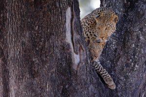Eine Leopardin mit ihrem Jungen im Baum - Fotoreise Botswana Okavangodelta