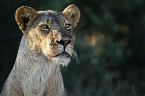 Auf unseren Botswana Reisen ins Okavangodelta oder in die Kalahari Wüste?! Gute Loewen Sichtungen sind Ihnen garantiert.