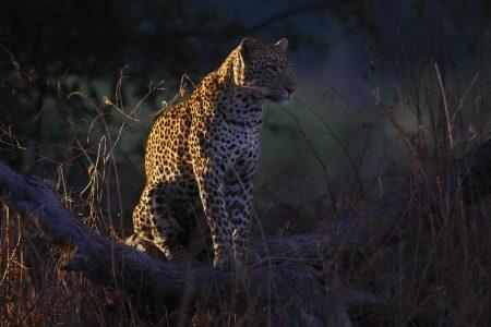 Leoparden im Spotlight fotografieren - Afrika Fotoreisen