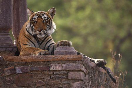 Bengal Tiger im Ranthambhore Nationalpark - Rajasthan, Indien