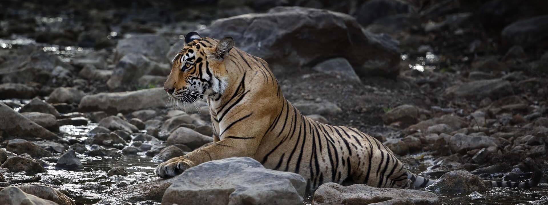 Tiger Gruppenreise