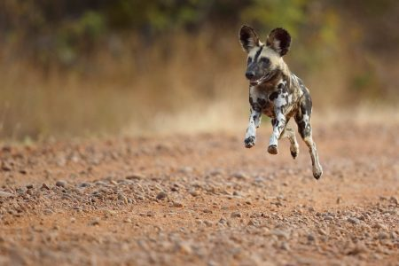 Afrikanischer Wildhund in'full speed' - Afrika Fotoreisen und Safaris