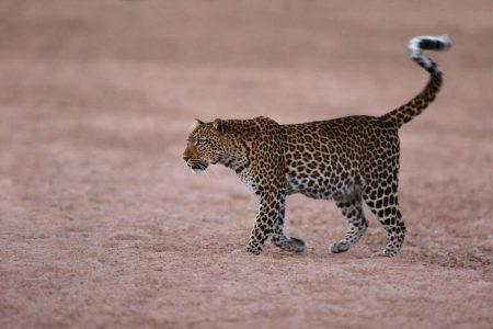 Ein Leopard durchquert im South Luangwa Nationalpark ein ausgetrocknetes Flussbett, Sambia.