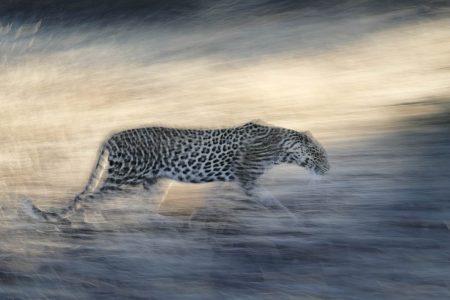 Mit einer längeren Belichtungszeit und mitgezogen - Leopard in Botswana