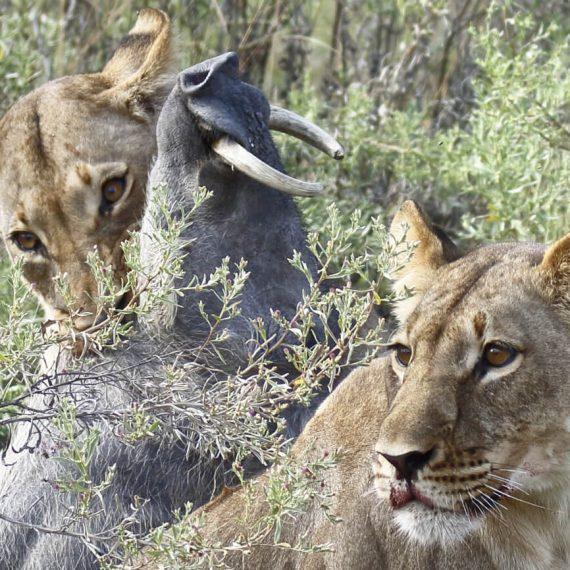 Loewen mit ihrer Beute - einem Warzenschwein, das sie soeben mit Beharrlichkeit ausgebuddelt haben. Botswana - Okavangodelta.