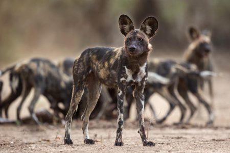 Mana Pools zählt sicherlich zu den Orten in Afrika mit der besten Wildhund Population