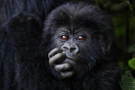 Reise Afrika - zu den Primaten in Uganda und Ruanda