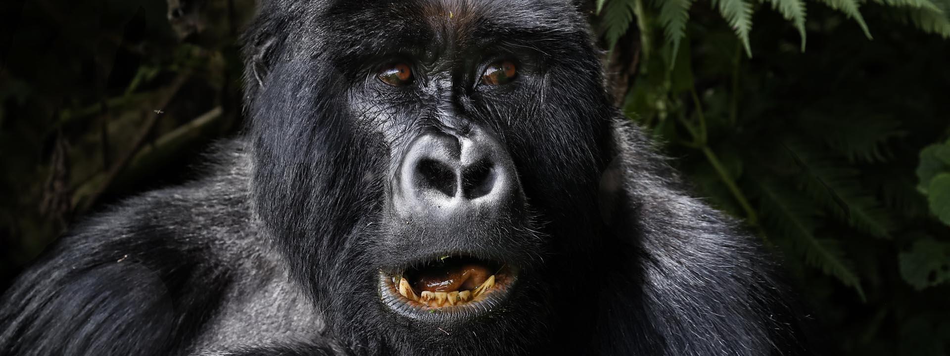 Berggorilla Uganda Zähne