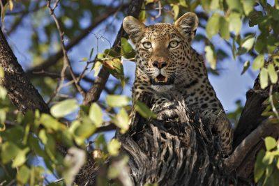 Afrika Reisen mit In AFRICA: Leopard fotografiert in einer privaten Kwando Konzession in Botswana.