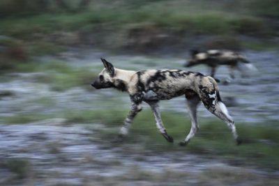 Botswana Safari Info Wildhunde