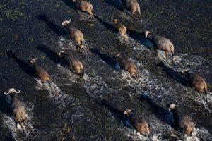 Aus dem Helikopter fotografieren - Bueffelherde im Okavangodelta, Botswana.