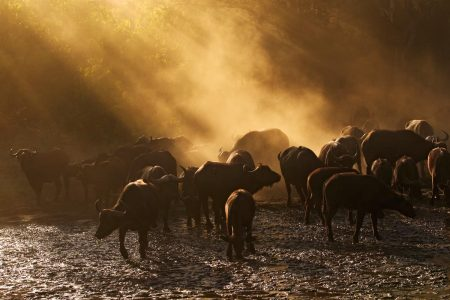 Begegnungen zu Fuss - Büffelherde in Mana Pools