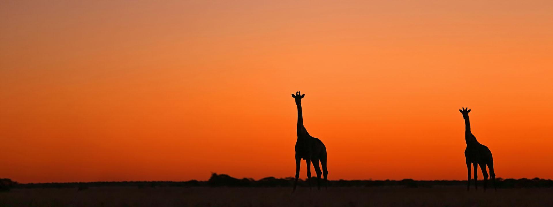 Giraffen Silhouetten Botswana