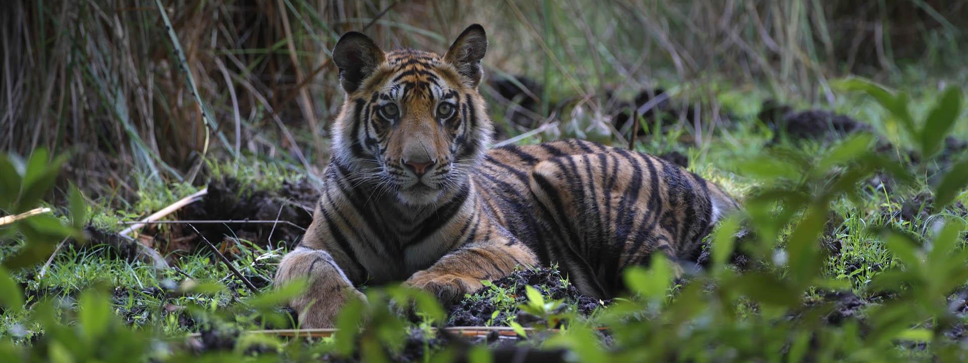 Junger Tiger Bandhavgarh