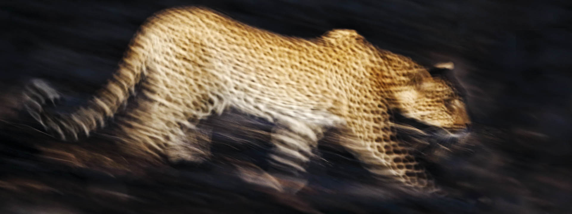 Leopard Blurred