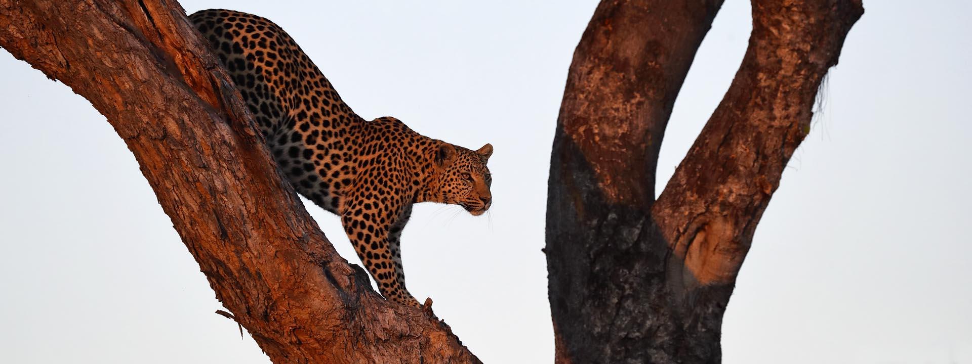 Leopard Okavangodelta