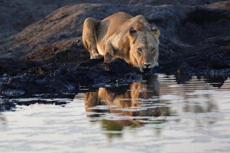 Löwe am campeigenen Wasserloch, Somalisa