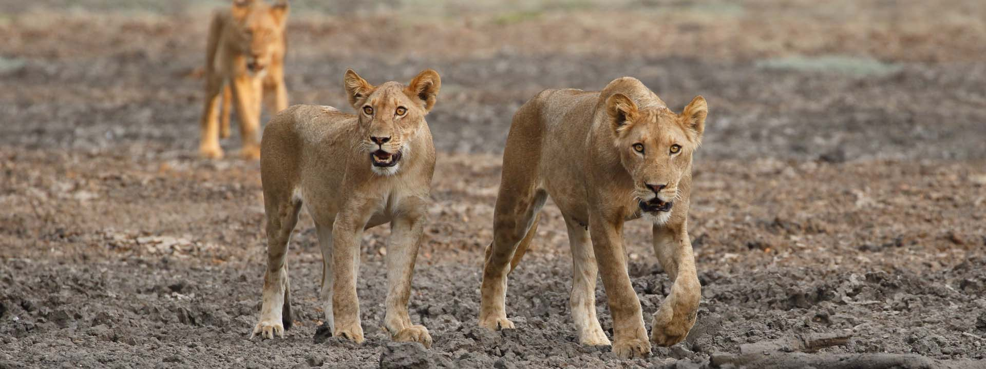 Löwen Mana Pools