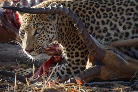 Leopard mit Impala - Fotoreise Botswana