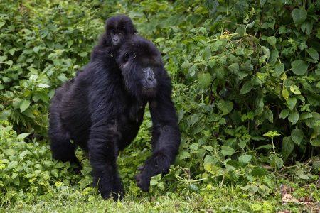 Reise zu den Berggorillas Ruanda