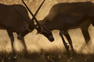 Im südafrikanischen Kgalagadi Transfrontier Park begegnet man wunderschönen Lichtstimmungen - Oryx Kampf.