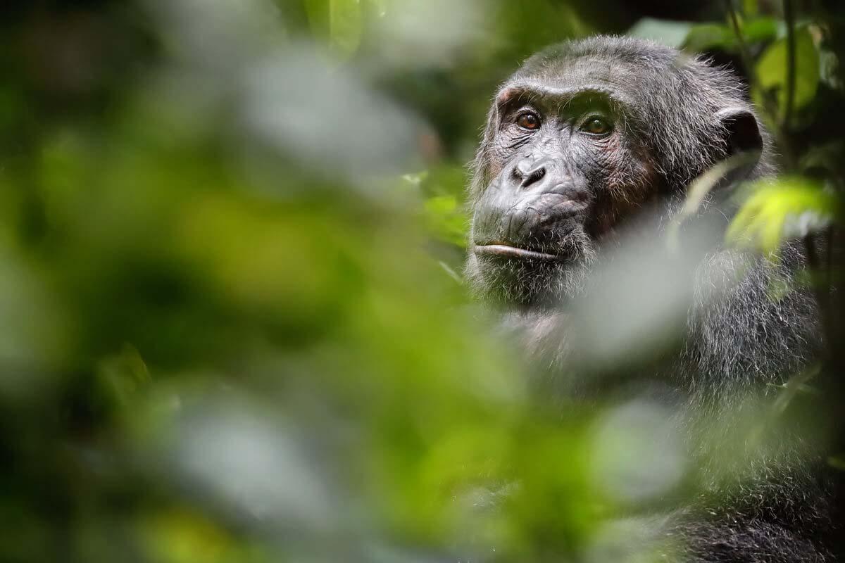 Schimpanse Uganda Reisen