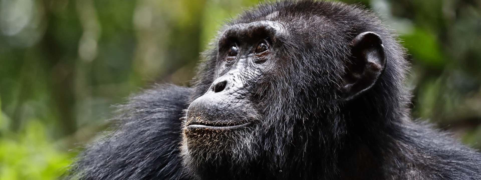 Schimpanse Kibale