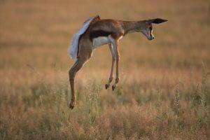 Im südafrikanischen Sommer kommt der Regen und die Antilopen finden saftiges Gras im Überfluss.