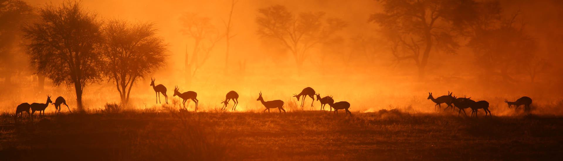 Springboecke Kalahari