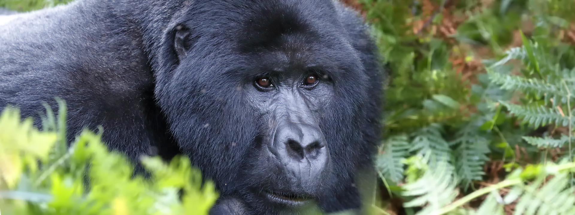 Uganda Silverback