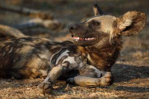 Lebala und Lagoon sind in Botswana immer sehr gut für Wildhunde.