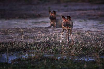 Wildhunde in der Kwara Konzession - Botswana, Okavangodelta.