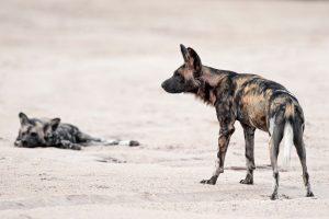Zu Fuss kommt man den Wildhunden in Mana Pools sehr nahe - Simbabwe.