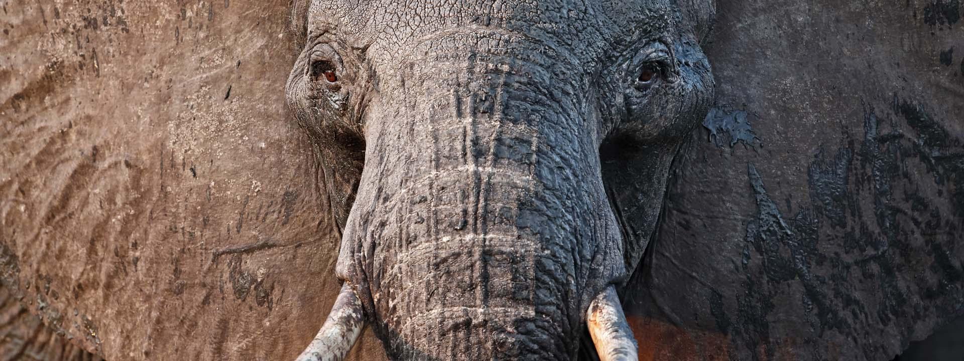 Elefant Hwange