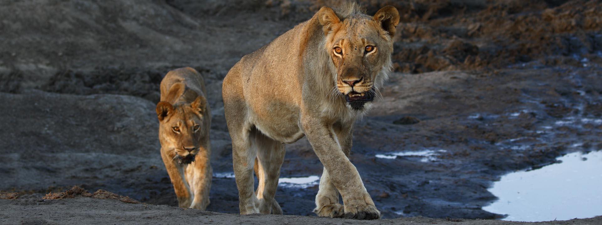 Löwen Hwange