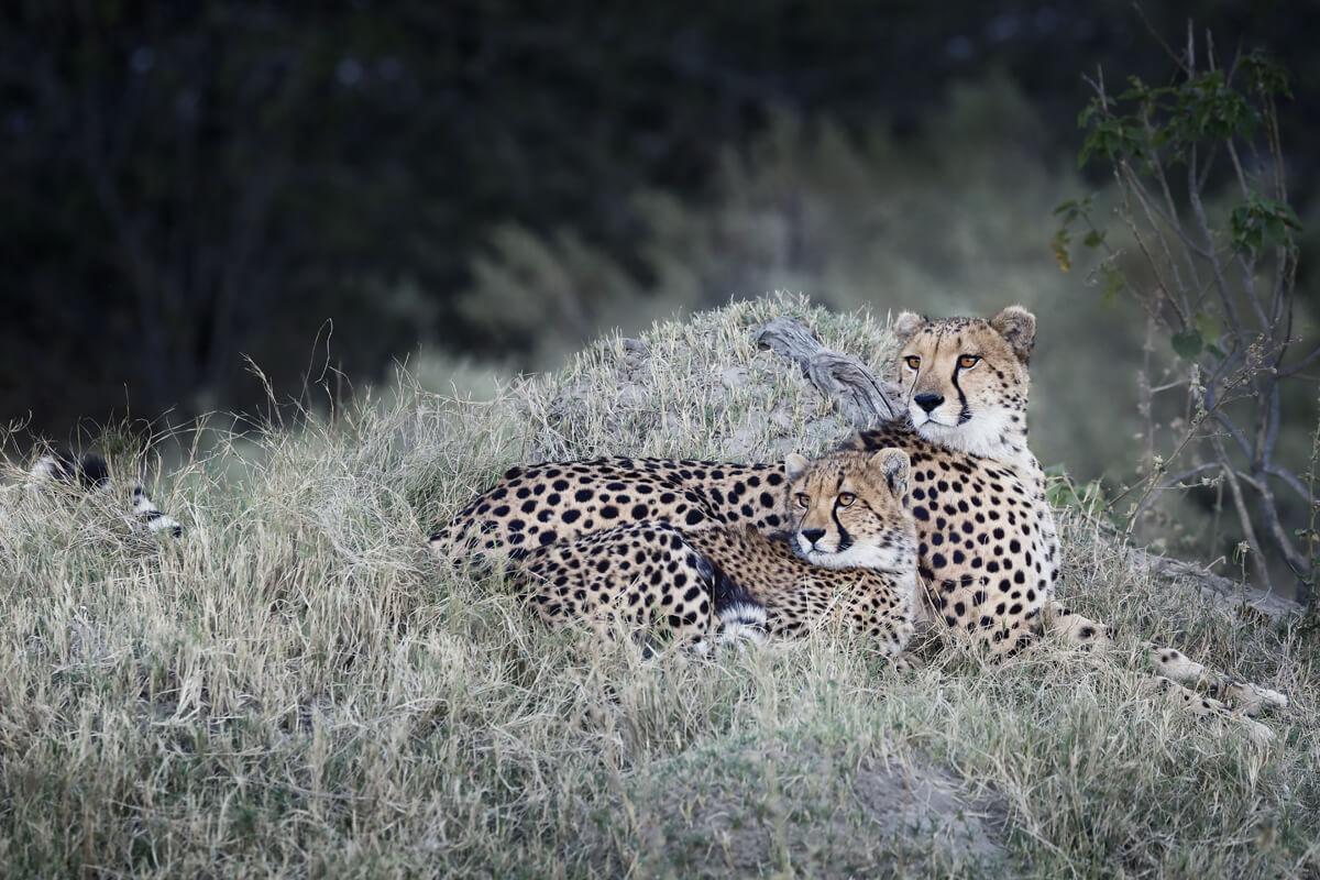Geparden Mutter mir ihrem Jungtier