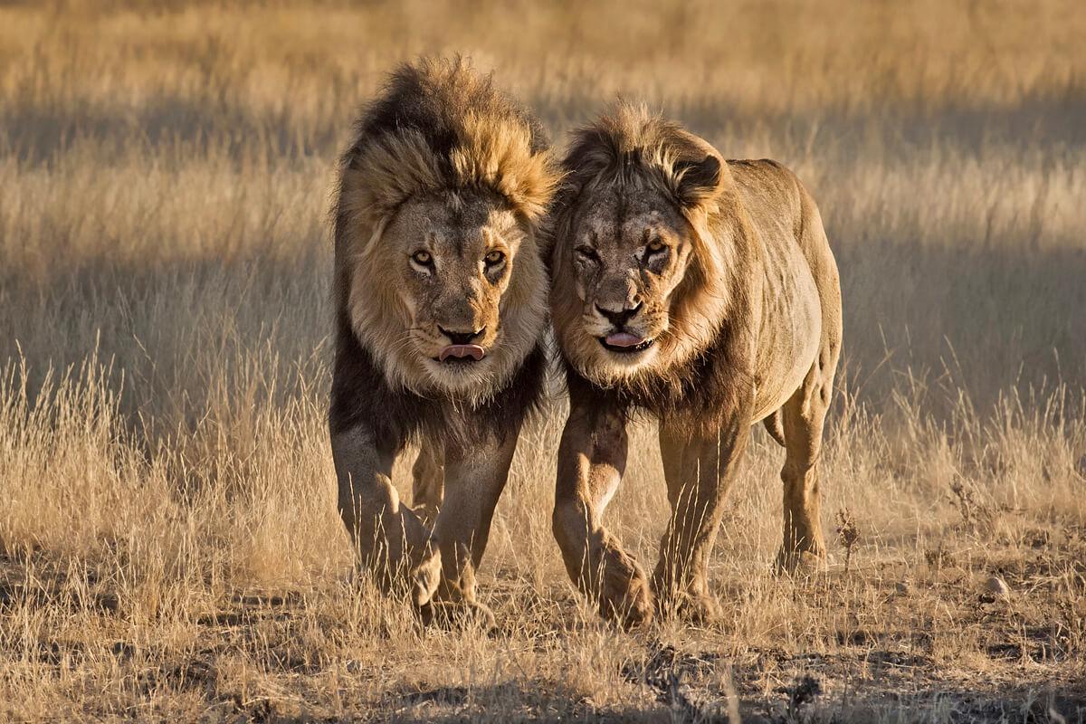 Afrika Reisen in die Kalahari Wueste nach Suedafrika und Botswana - Kgalagadi Transfrontierpark.