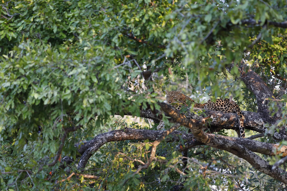 Leopardin, South Luangwa NP - Sambia.