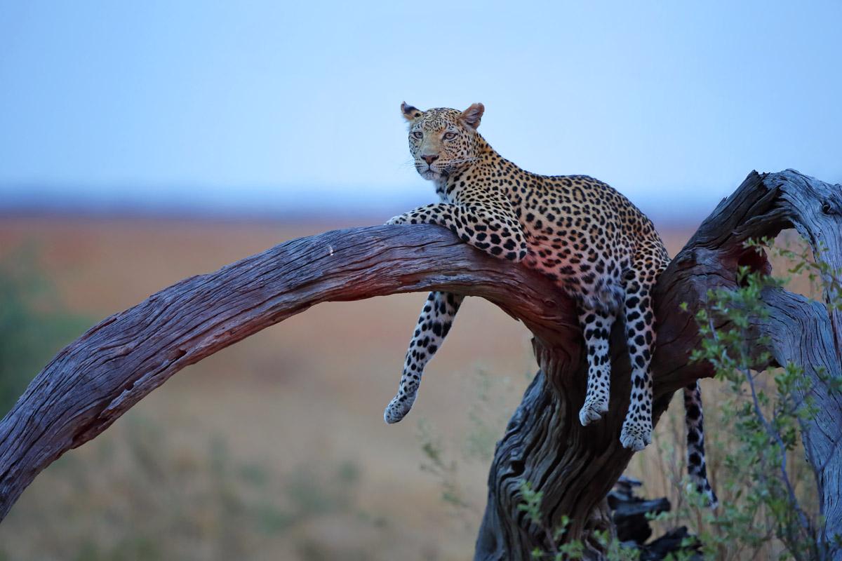 Auf unseren Fotoreisen fotografieren Sie mit uns Leoparden im südlichen Afrika.