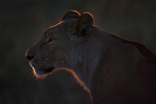 Botswana - Savute Marsch im Chobe Nationalpark. Die Silhouette einer Löwin, die gerade zur Jagd aufbricht.