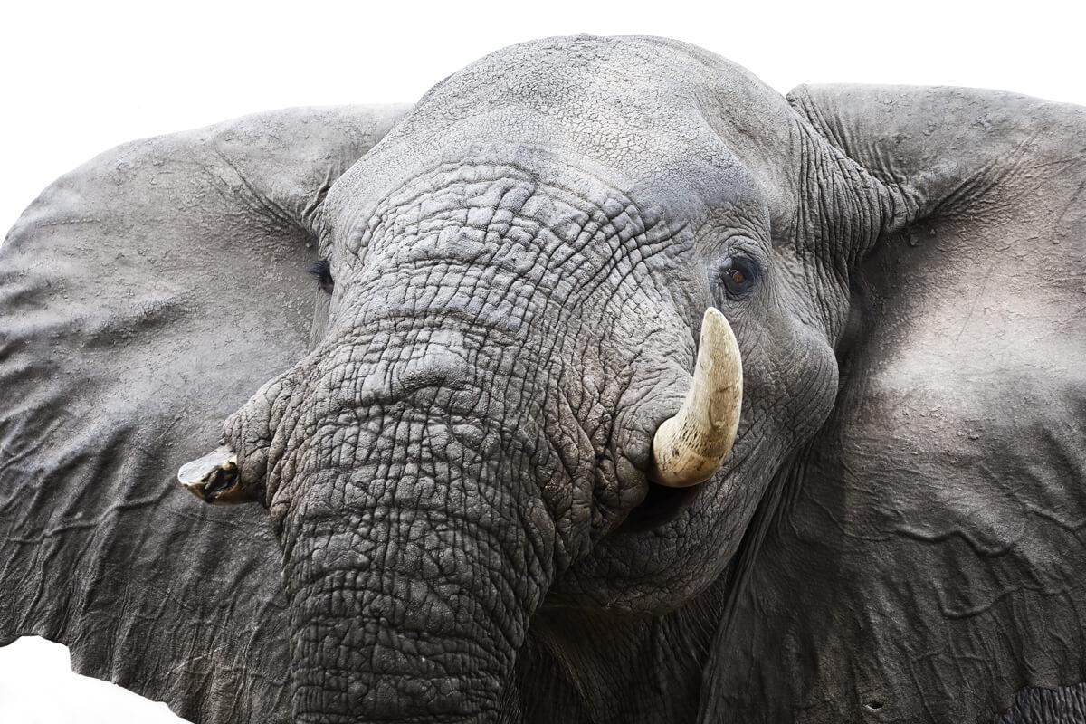 Portrait eines Elefanten Bullen - fotografiert in Botswana am Khwai River.