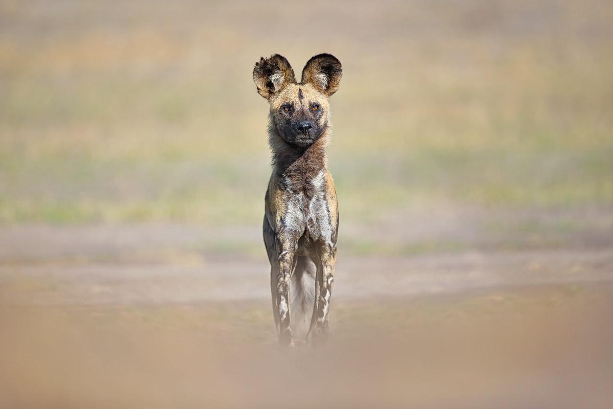Afrikanischer Wildhund fotografiert auf unserer Reise nach Botswana 'Private Zeltcamps'