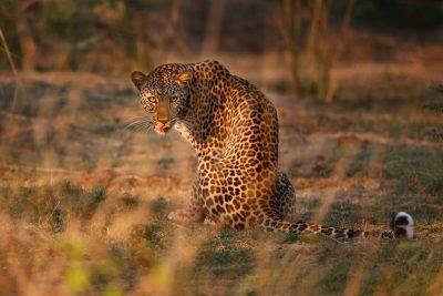 Die Lebala Konzession ist eine der besten in Botswana - immer gut für hervorragende Leoparden und Löwen Sichtungen.